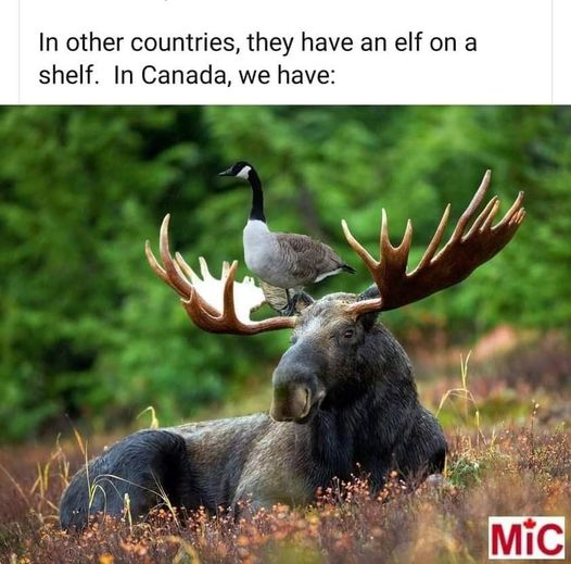 Goose on a moose